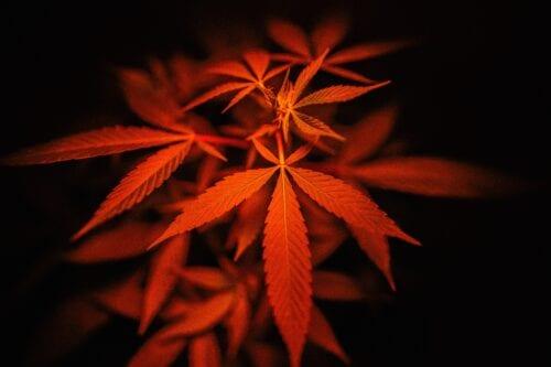 riesgos marihuana