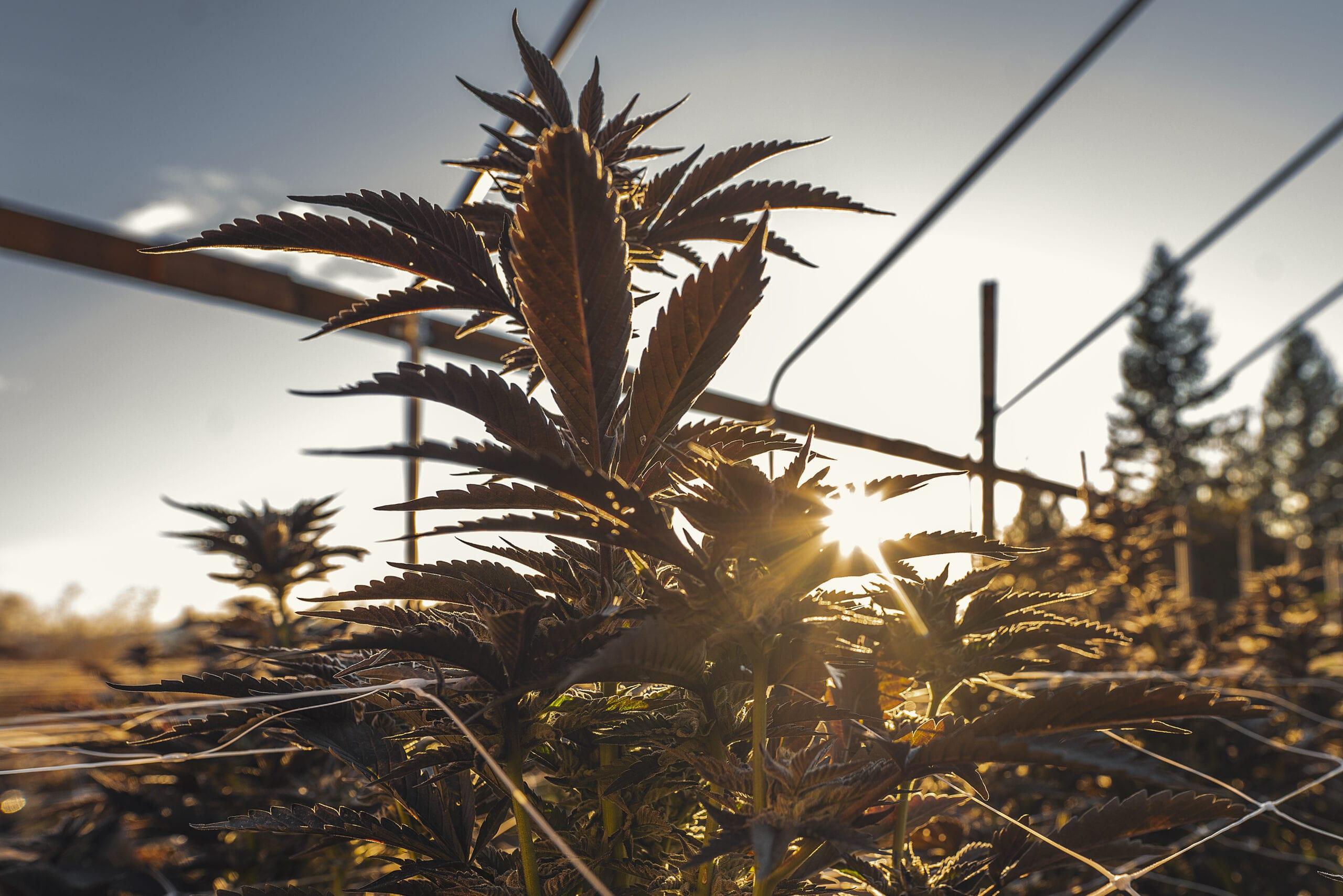 Fotos Marihuana
