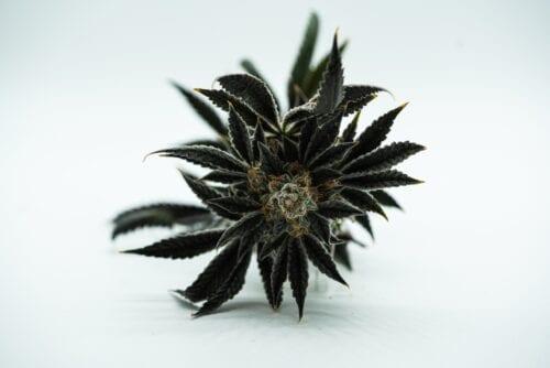 marihuana efectos