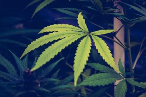 cannabis tigre