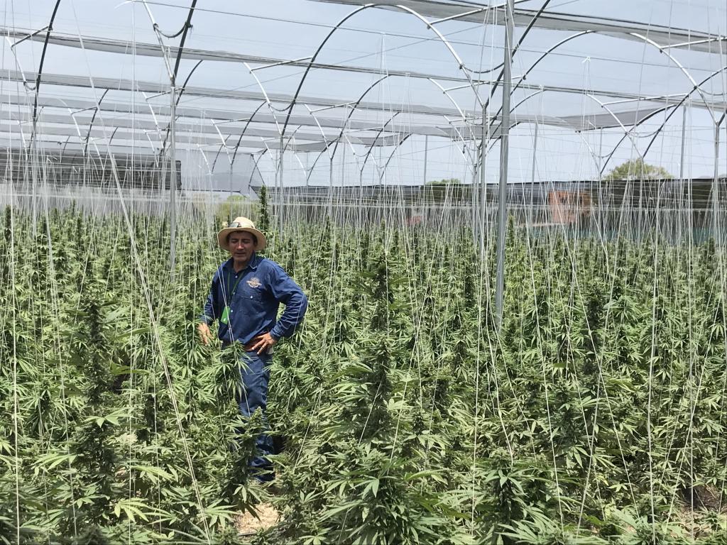 cannabis ecológico