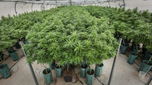 invertir cannabis argentina