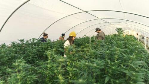 empleos cannabis