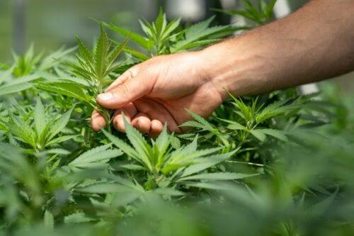 cannabis 2020 reprocann