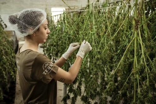 trabajo cannabis