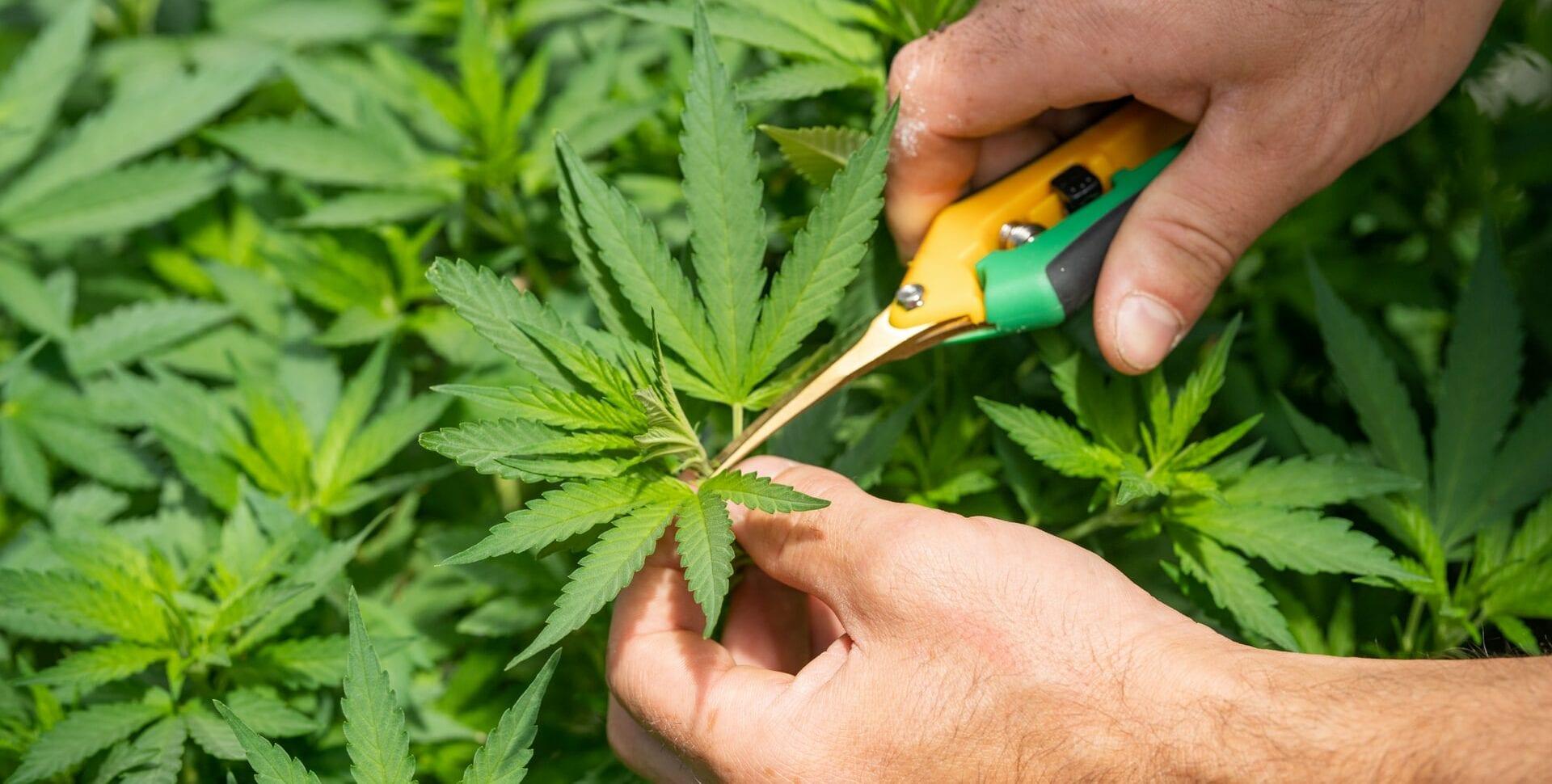 cannabis alemania tailandia noruega