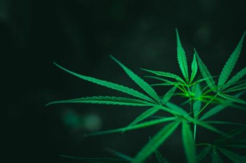 anmat cannabis