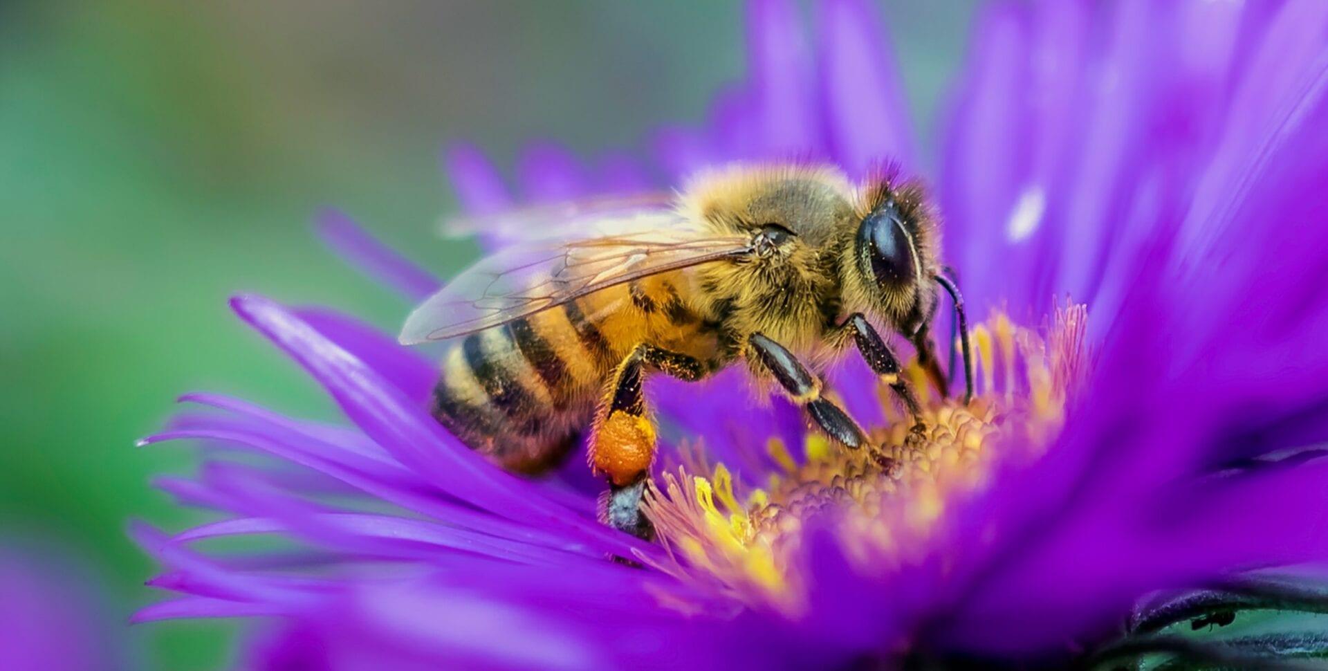 abejas cáñamo