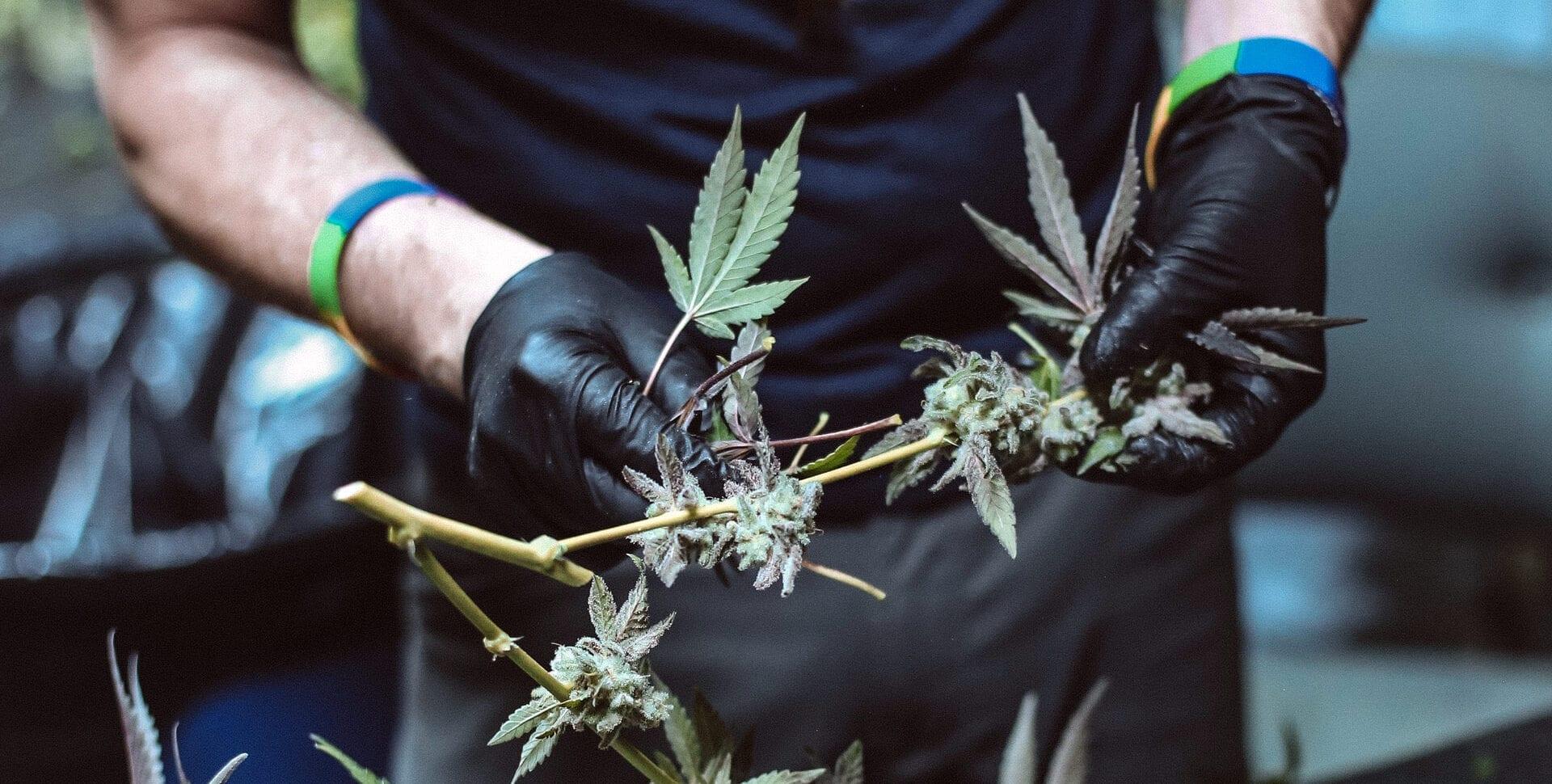 trabajadores cannabis