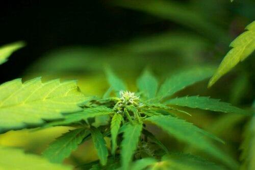 misiones cannabis