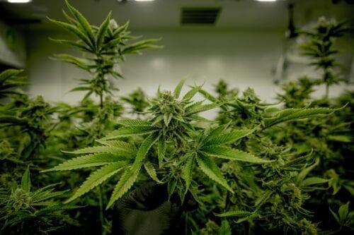 mercado cannabis 2021