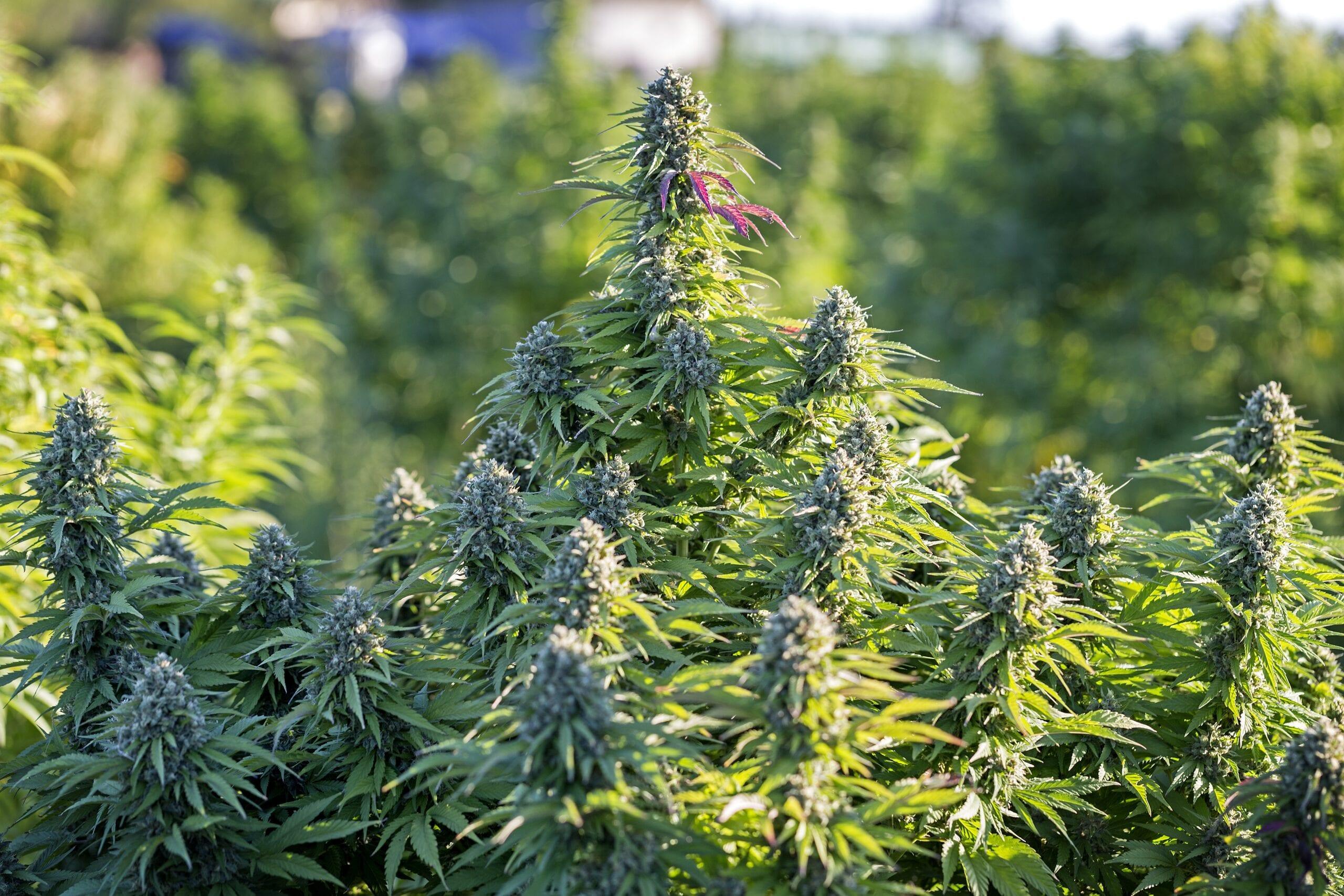 economía cannabis