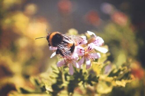 abejas cannabis
