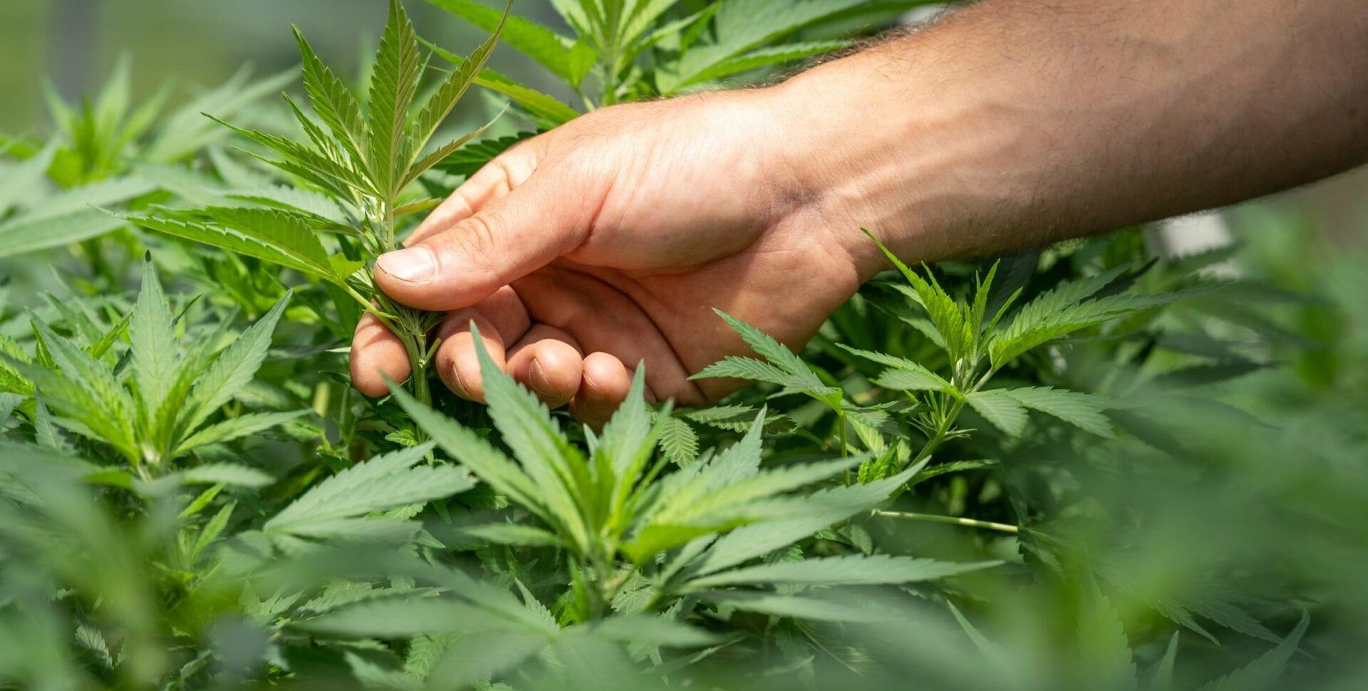 cannabis medicinal autocultivo