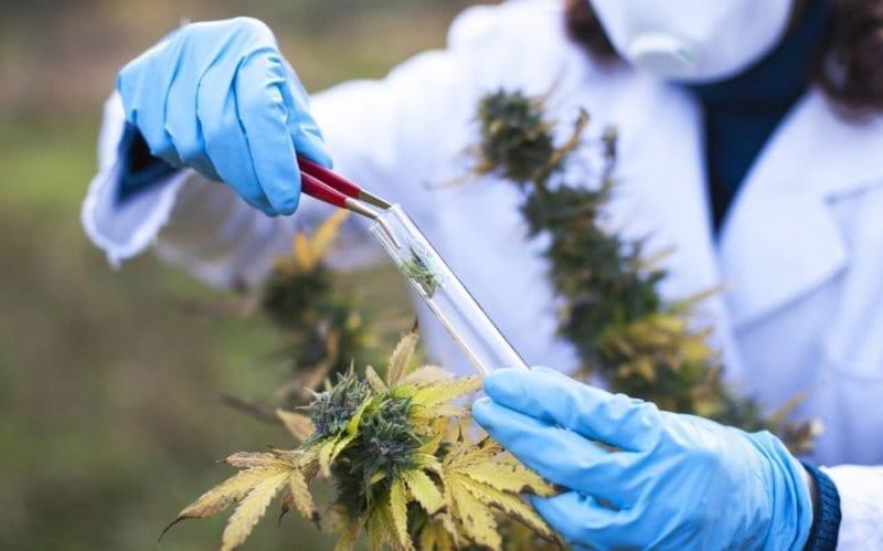 tucumán cannabis