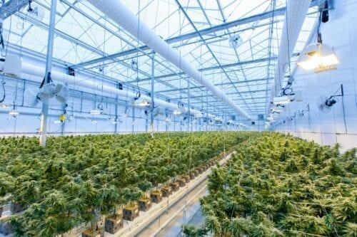 invernadero cannabis
