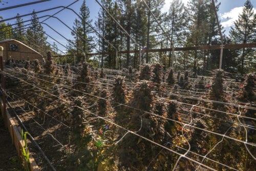 industria cannabis cultivo