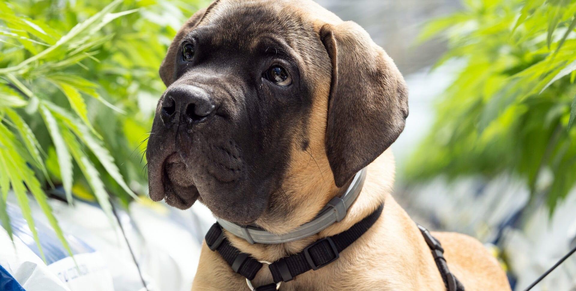 perro marihuana perros cannabis intoxicación