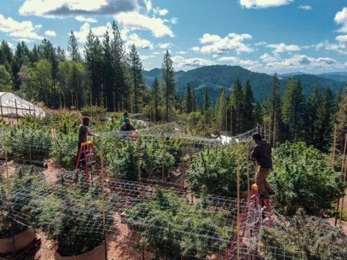 sindicatos cannabis eeuu