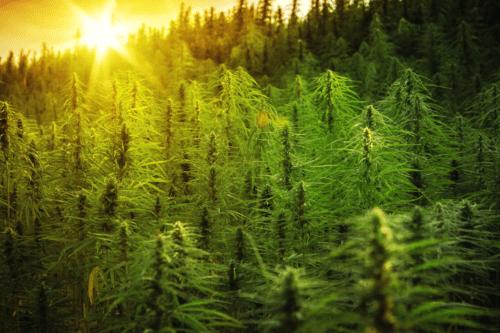 NetCann uruguay cannabis california cannadips croptober concurso