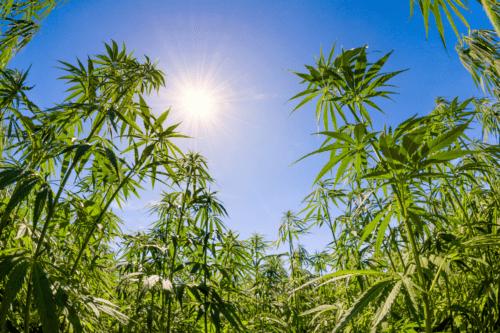 jardín cannabis méxico
