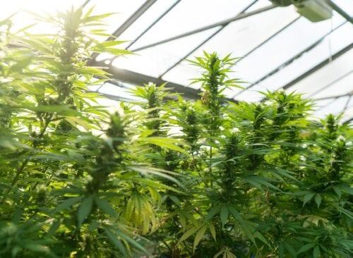 growgeneration cannabis