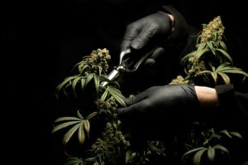 cannabis provincias argentinas