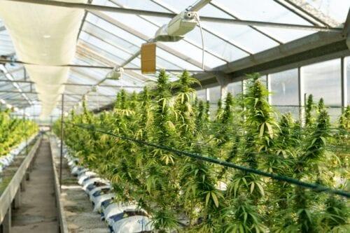 españa cannabis invernadero