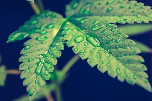 cannabis medicinal producción local