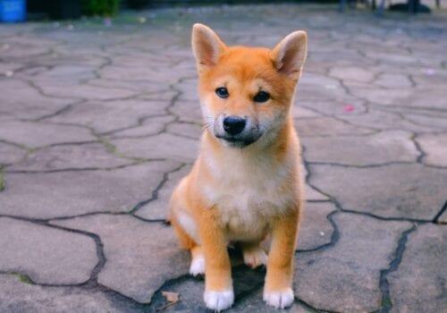baby doge subiendo