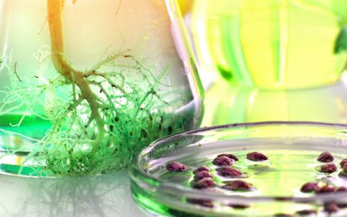 inase cannabis germoplasma