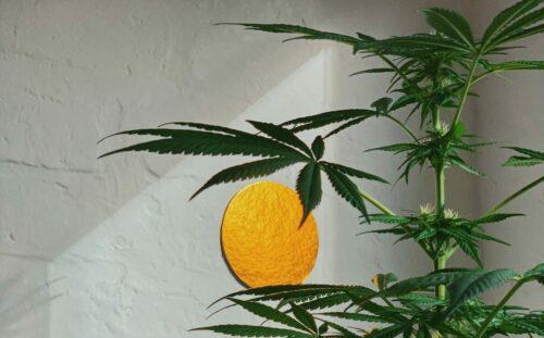 cultivo cannabis problemas