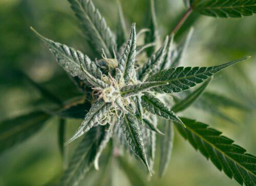 ventas cannabis eeuu