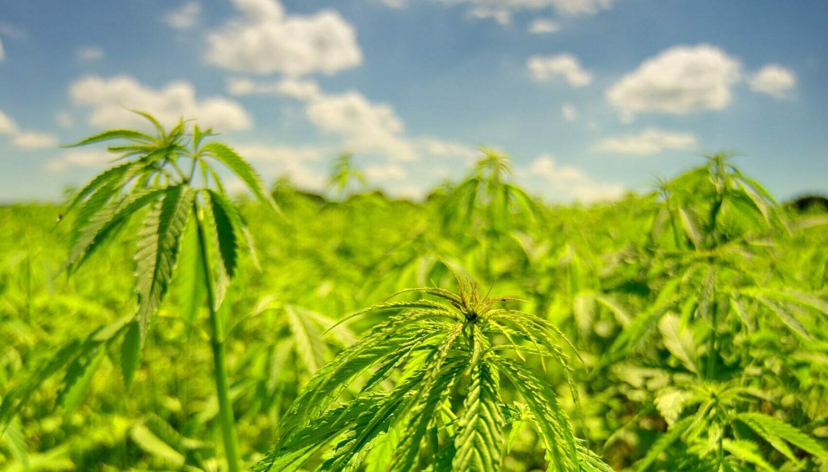 chaco cannabis cáñamo